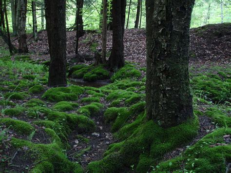where can i find moss moss wikipedia