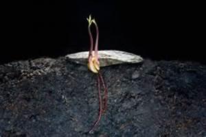 Luftfeuchtigkeit Wohnung Normal : kokosnuss pflanzen die wichtigsten pflanztipps in k rze ~ Frokenaadalensverden.com Haus und Dekorationen