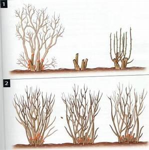 Quand Tailler Les Arbustes De Haies : tailler pour rajeunir un arbuste angle vert services ~ Dode.kayakingforconservation.com Idées de Décoration