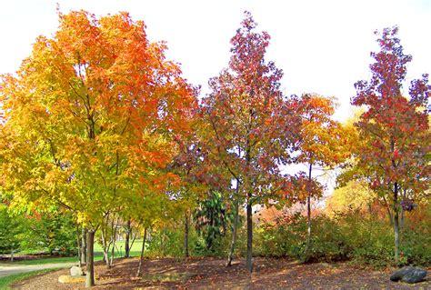 maple tree maple trees free stock photo public domain pictures