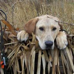 Gallery For > Ducks Unlimited Dogs Wallpaper