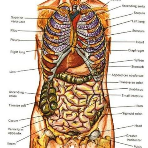 female human body organs diagram anatomy body human body