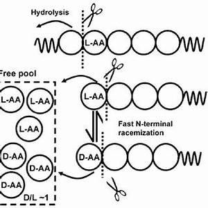 (PDF) Amino Acid Racemization Dating