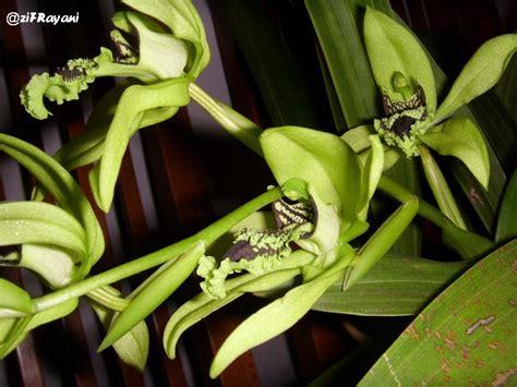 bunga bunga wisata anggrek hitam black orchid kalimantan