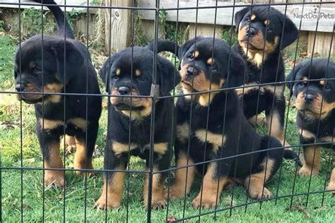 B Litter Rottweiler Puppy For Sale Near South Florida Florida Dccc D