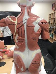 A View Of The Most Superficial Posterior Muscles Of The