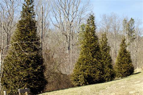 arbor vitae into the woods arbor vitae trees