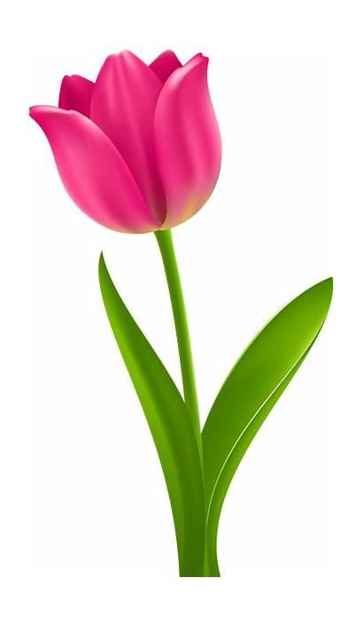 Tulip Clip Clipart Transparent Flower Pink Tulips