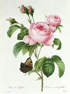 Rosa Centifolia Painting by Pierre Joseph Redoute