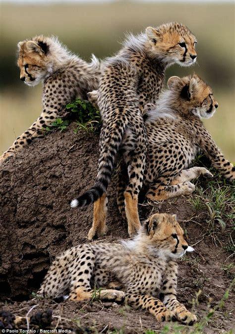 busy cheetah mum cares    adorable cubs daily