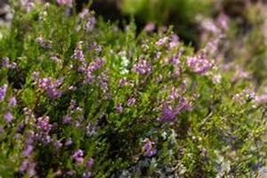Enzian Schneiden Und überwintern : silberblatt mondviole pflanzen pflegen berwintern ~ Lizthompson.info Haus und Dekorationen
