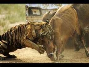 wild animals fighting  death deadliest youtube