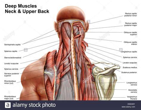 shoulder muscles anatomy diagram shoulder muscles