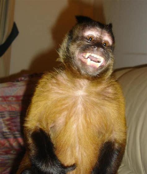 capuchin monkey pet pet monkey love with a wild cat