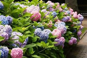 Hydrangea Macrophylla DIY