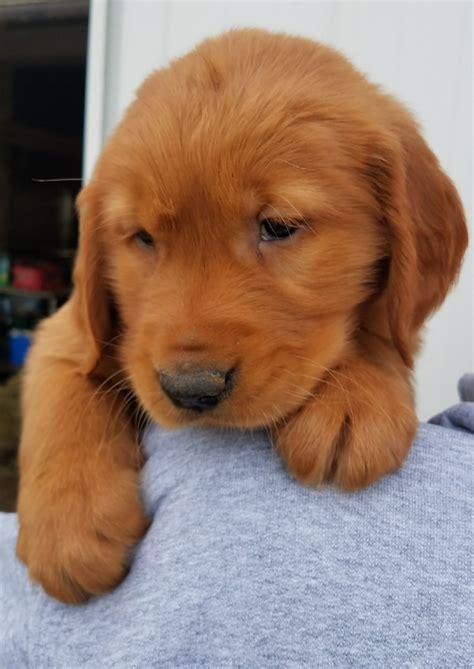 How much should a Golden Retriever puppy eat