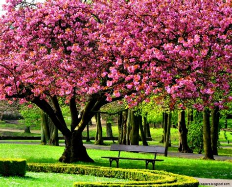 Cherry Blossom Tree Wallpapers (40 Wallpapers)  Hd Wallpapers