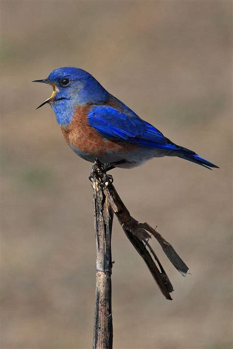 western bluebird  north richmond california