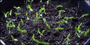 Semis De Persil : planter persil en pot ~ Dallasstarsshop.com Idées de Décoration