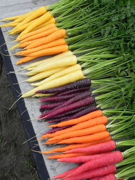 colorful carrots colorful carrots colorido