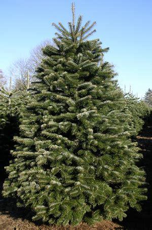 wholesale christmas trees silver bells christmas tree farm