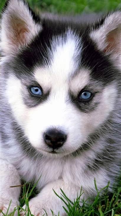 Husky Huskies Wallpapers Iphone Puppies Animal Eyes