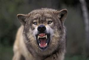 Growling Wolf Head Side Angry wolf head side view ...