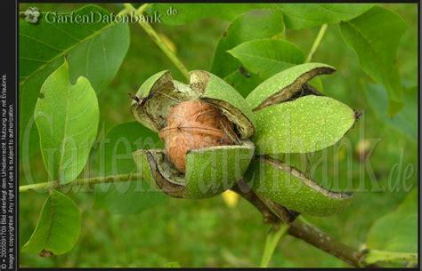 walnussbaum schneiden wann walnuss wuchs pflege und ernte