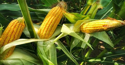 Weed Control in Maize Crop for increasing yield - E ...