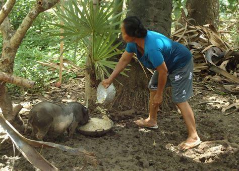 kelompok tani ternak pucak manik ternak babi sebagai