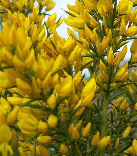 cespugli sempreverdi con fiori u di ulex europaeus o ginestre spinose arbusto