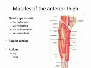 Classification And Action Of The Lower Extremity Muscles