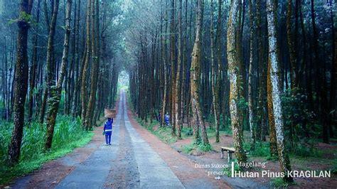 hutan pinus kragilan magelang keindahan hutan pinus