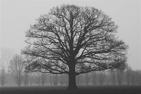 grayscale photography of tree 183 free