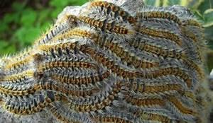 Papillon Chenilles Processionnaires : destruction nid de frelons asiatique et chenilles vannes 56 ~ Dallasstarsshop.com Idées de Décoration