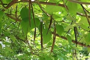 Baum Mit Langen Schoten : gew hnlicher trompetenbaum catalpa bignonioides pflege ~ Lizthompson.info Haus und Dekorationen