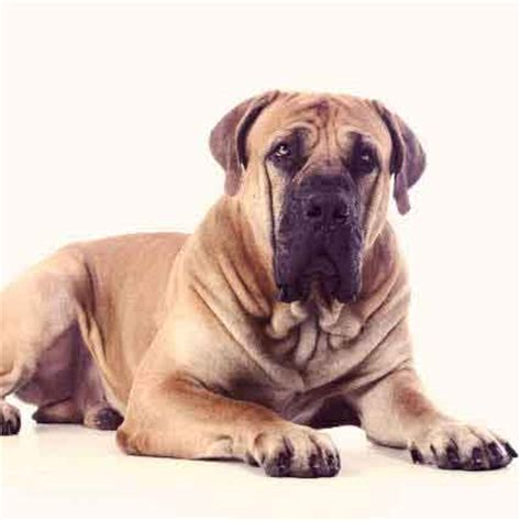 large breed dogs that shed the least large dogs that don t shed petcarerx