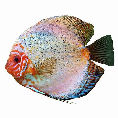 Fish Discus Transparent Background Fishing Carp Category