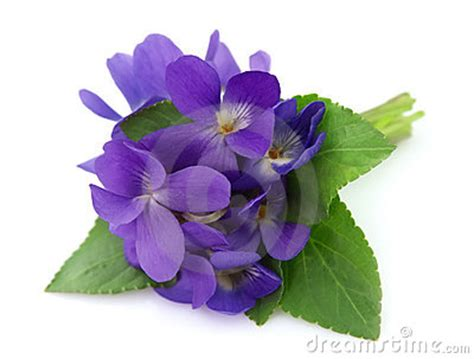 wood violets flowers stock 19049330