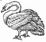 Swan Coloring Buddha Mute Gautam Sketch Clipart Clip Drawings 34kb 726px Dinosaur Sketches sketch template