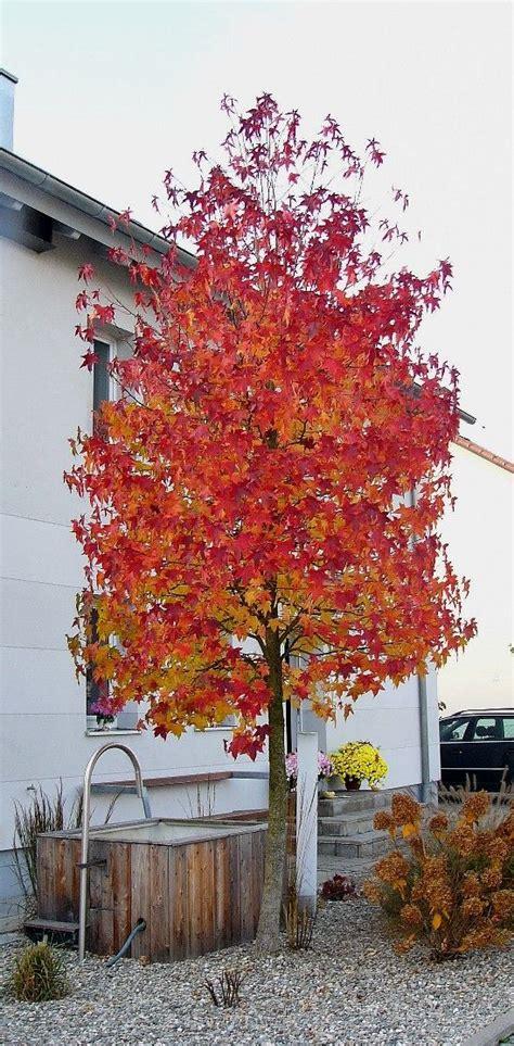 amberbaum garten gartenbaeume baeume garten haus baeume