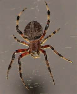 Black and Brown Spider with Striped Legs
