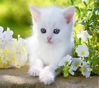 Baby kitty blue eyes white cute flower animal cat wallpaper      White Baby Cat With Blue Eyes
