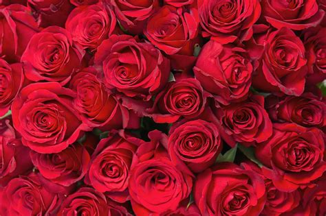 Valentine's Day Red Roses