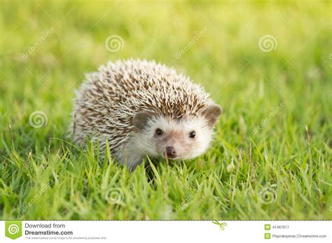 Heat L For Pygmy Hedgehog by Brown Hedgehog Pygmy Hedgehog Stock Photo