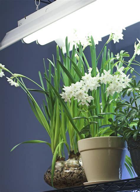 fluorescent bulbs for growing plants fluorescent lighting for indoor gardening gardening know how