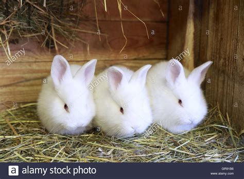 stall für kaninchen drei kleine wei 223 e kaninchen in einen stall stockfoto bild 117597962 alamy