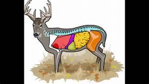 Deer Anatomy  U0026 Where To Aim On A Deer