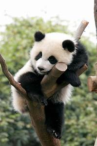 cute baby panda | adorable animals | Pinterest | I take a ...