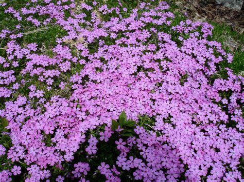 creeping flowers how to plant a creeping phlox garden guides